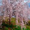 丘に立つ一本桜
