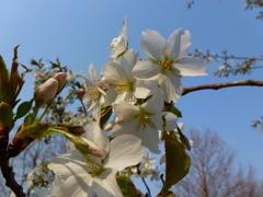 今年も桜にCherry