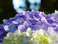 日本平の紫陽花
