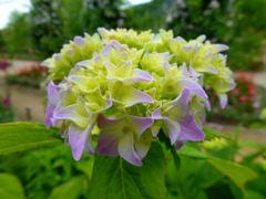 紫陽花@モネの庭