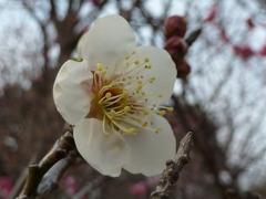 花びらの白い色は恋人の色 なつかしい白百合は恋人の色 ふるさとのあの人のあの人の