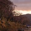 海津大崎 夜明けの桜