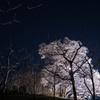 向野のエドヒガン 月夜