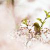 葉桜に変わる桜の中で