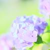 ゆるふわ紫陽花その2