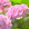 本土寺ゆるふわ紫陽花 その2