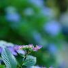 見頃前の紫陽花