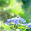 ゆるふわ紫陽花その3