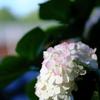 ほぼ白の紫陽花