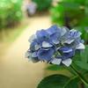 紫陽花の道 その2