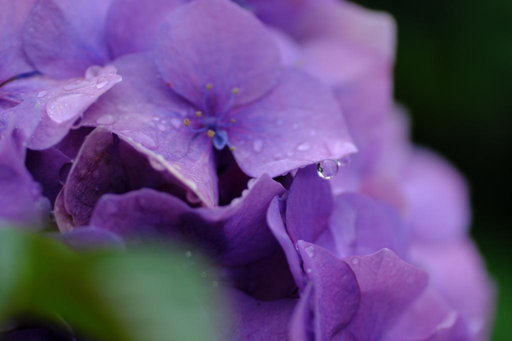 滴と紫陽花