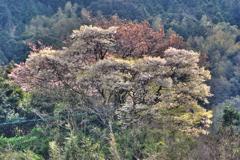 糸島の山桜