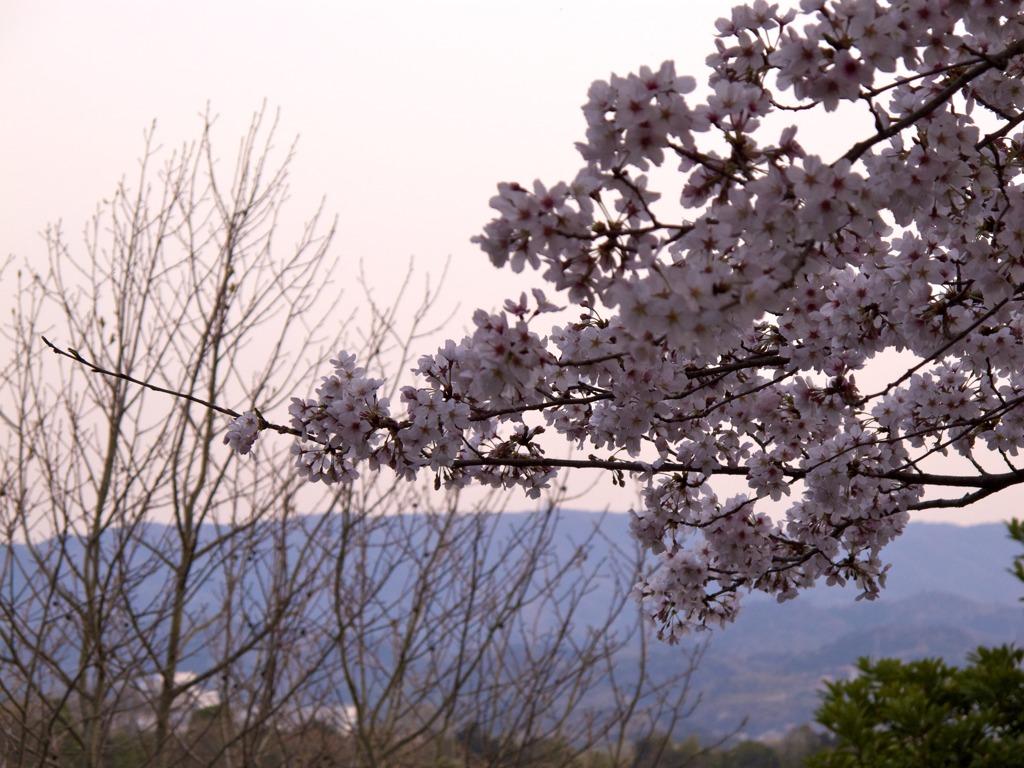 夕焼け桜6