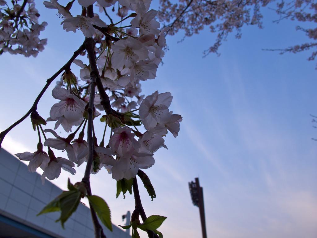 夕焼け桜4