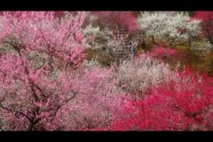 吉野梅郷(伐採前)2