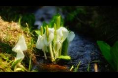 水芭蕉の花が♪