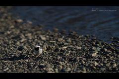 川辺の野鳥