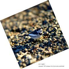 川辺の野鳥Ⅱ