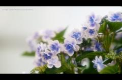 紫陽花21