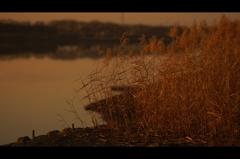 湖岸のススキ