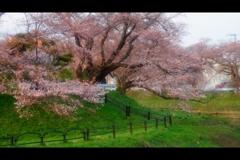 3分咲きの美(昨日)