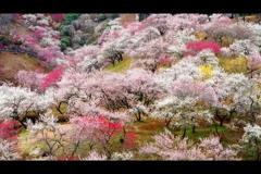吉野梅郷(伐採前)4