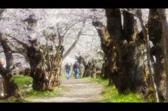 桧木内川堤(角館)5