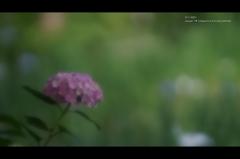 紫陽花14