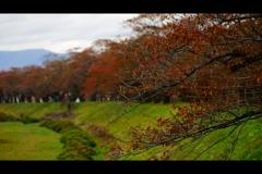 桜:紅葉2