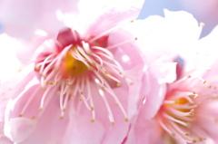 桜_マクロ