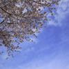 桜と空と飛行機雲