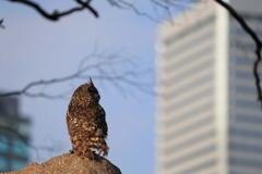 大阪城フクロウ