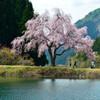 2014.05.06 「田屋の一本桜」