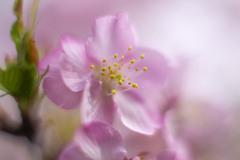 早春カラー 04
