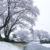 雪ザクラ 04