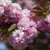 春色の大輪 02