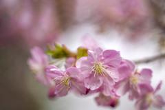 早春カラー 03