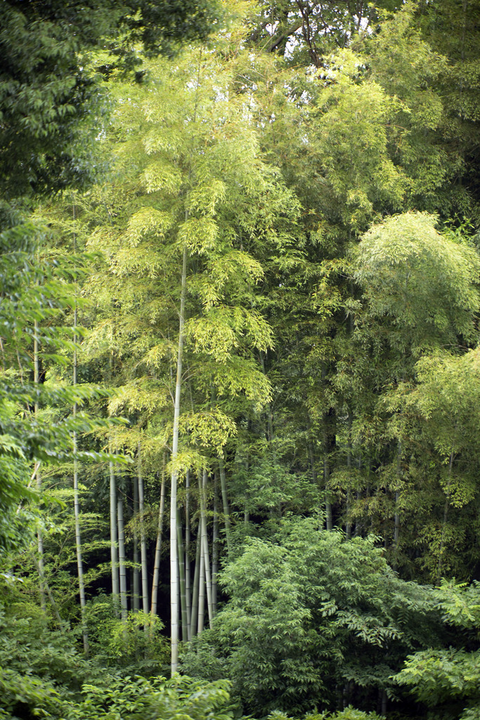 Beautiful bamboo forest 02