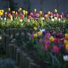 春の花壇 04