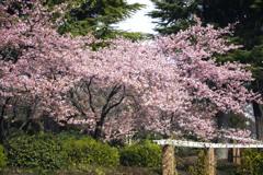 早春カラー 02
