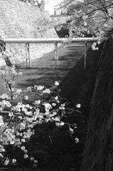 桜の白と黒