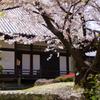 聖徳太子の桜