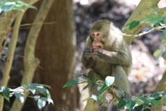 椿の花を食べる猿