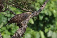 カンムリ鷲のロックオン