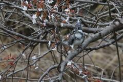 山桜にヤマセミ
