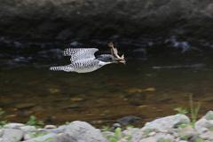 獲物は川カジカ