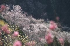 春爛漫の西吉野②