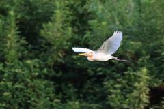 亜麻サギの飛翔