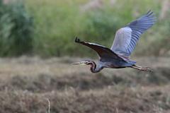 紫鷺の飛翔