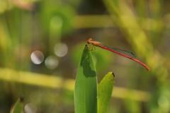 紅糸トンボ